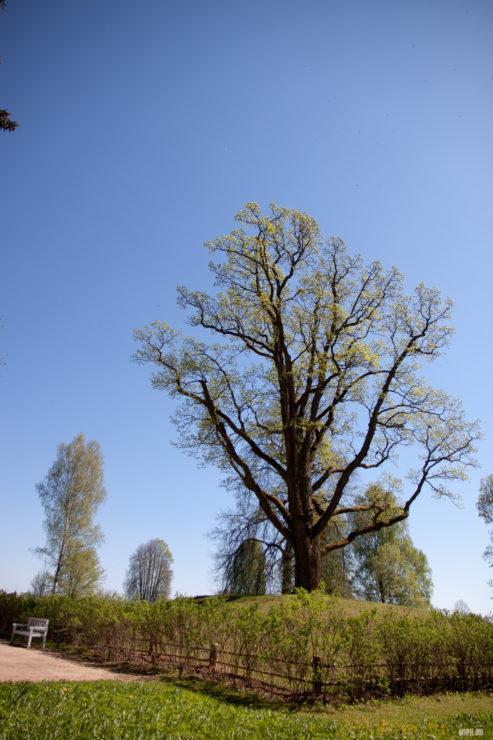 Тригоское, дуб уединения